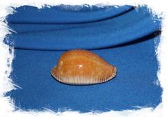 Ципрея гуттата (Perisserosa guttata)