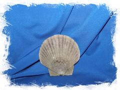 Ракушка Морской гребешок Дальневосточный