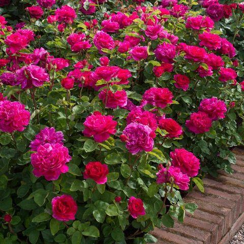 Роза Английская кустовая Sophy's Rose