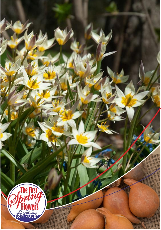 Луковицы Тюльпана Ботанического Turkestanica (Туркестаника) TM Jan de Wit en Zonen B.V. ( количество в упаковке 5 луковиц)