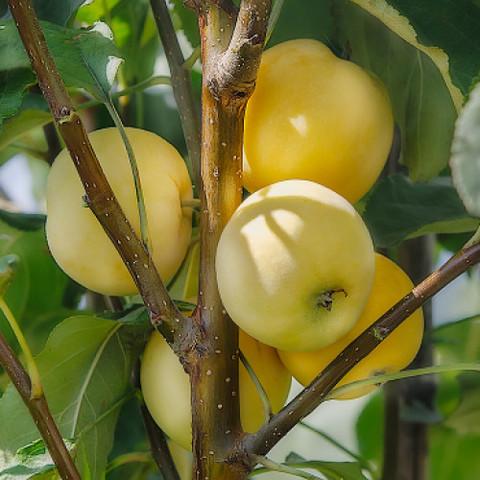 Яблоня (подвой семенной) Китайка золотая ранняя