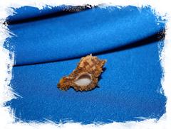 Мурекс рита (Chicomurex ritae)