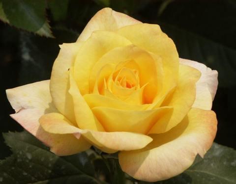 Роза чайно-гибридная Голден Медальон (в тубе)