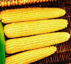 Мегатон F1 семена кукурузы (Clause / Клос)