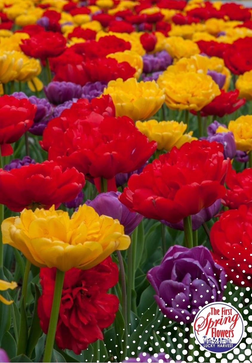Смесь  Пионовидных  Позднецветущих  Тюльпанов