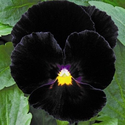 Виола виттрока Mariposa F1, black
