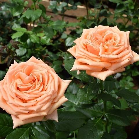 Роза чайно-гибридная Эльдорадо (в тубе)
