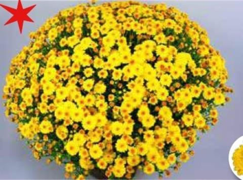 Хризантема мультифлора Branqueen Yellow  N 2086