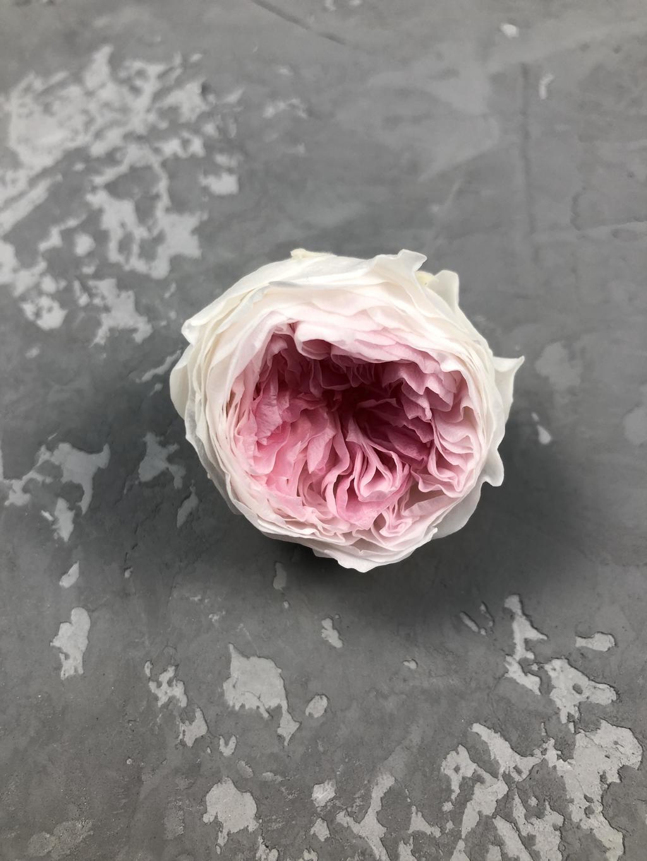 Роза пионовидная бело-розовая d=4,5 см
