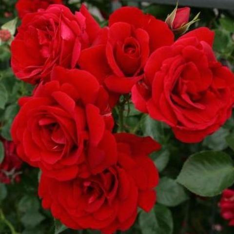 Роза парковая Nahim Black