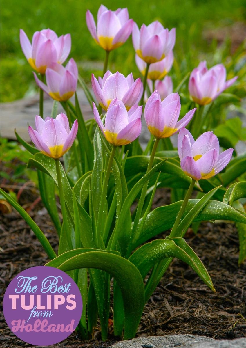 Луковицы Тюльпана Ботанического Os. bakeri Lilac Wonder (Бекери Лилак Уандер) TM Jan de Wit en Zonen B.V. ( количество в упаковке 5 луковиц)