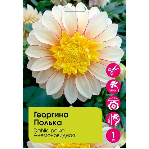 Георгина Полька анемоновидная 1шт