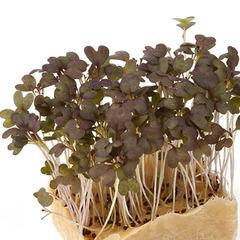 Семена для проращивания мицуны красной Сангрия (Гавриш)