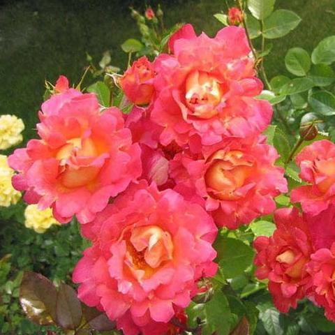 Роза плетистая Бригантина