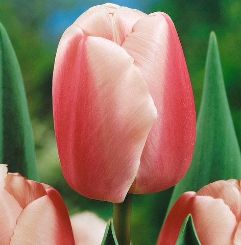 Тюльпан дарвиновы гибриды Оллиулес