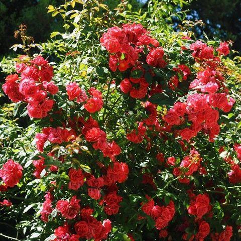 Роза плетистая Красный маяк