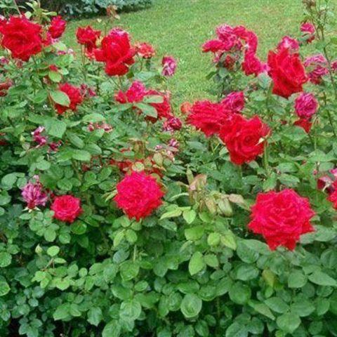 Роза плетистая Крымские зори