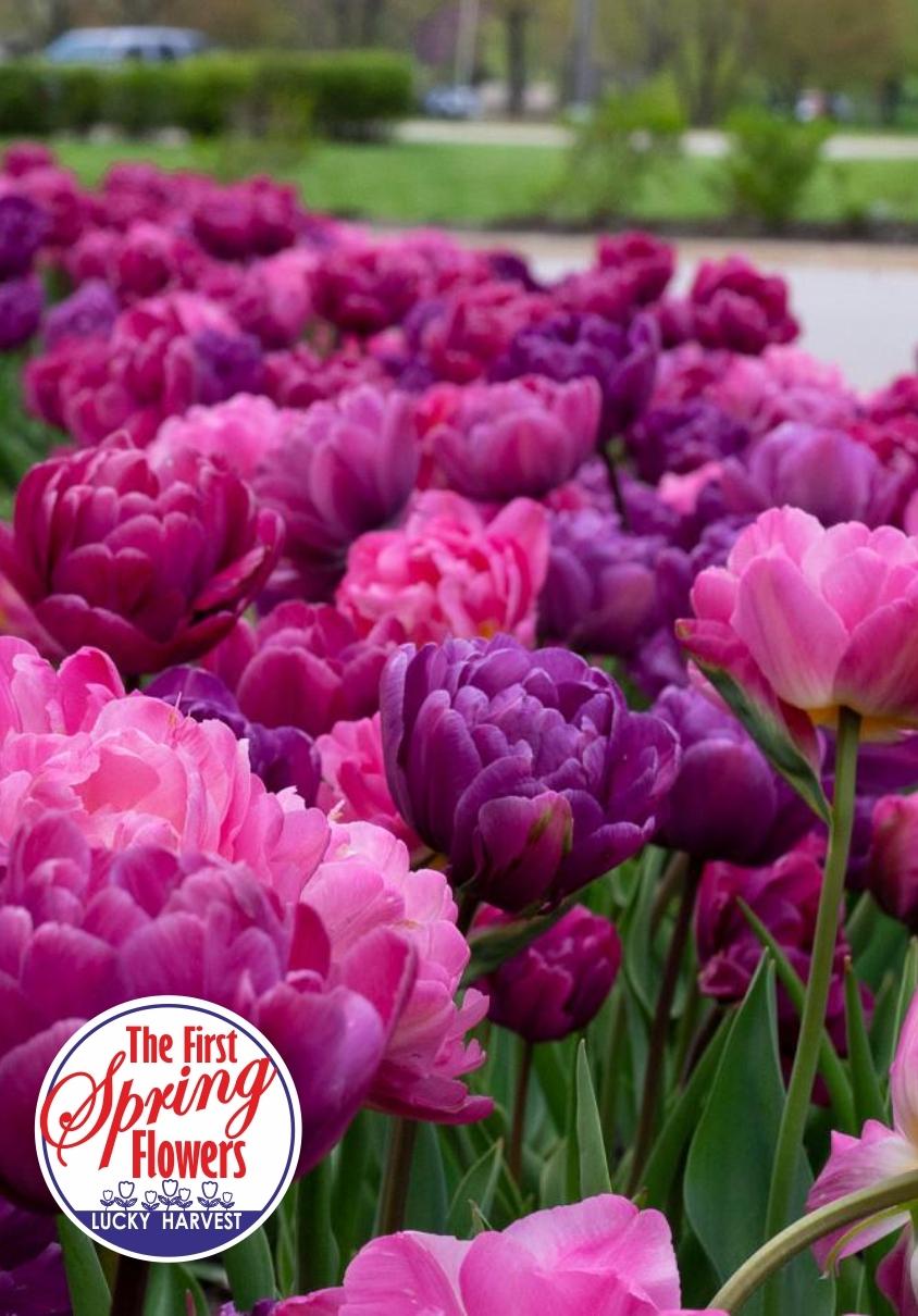 Тюльпан  Махровый   Смесь    Classy Peony  ( Класси Пеони)  3 шт.Jan de Wit en Zonen B.V. Нидерланды