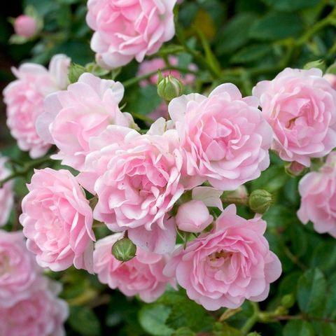 Роза Почвопокровная The Fairy