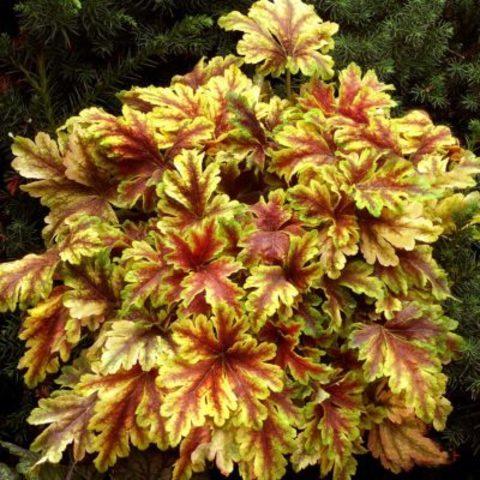 Эффектная желто-оранжевая гейхерелла для полутени «Золотая Зебра», Heucherella Gold Zebra