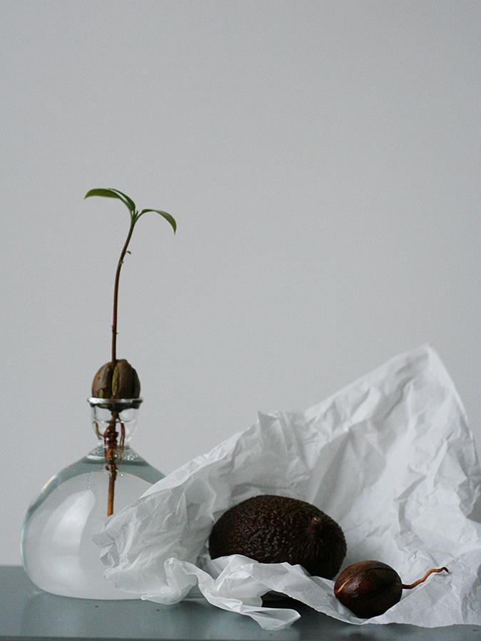 Ваза для выращивания авокадо