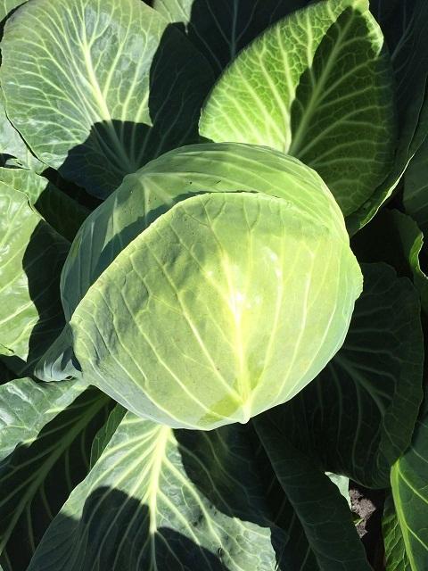 Каталог Декурион F1 семена капусты белокочанной (Clause / Клос) декурион.jpg