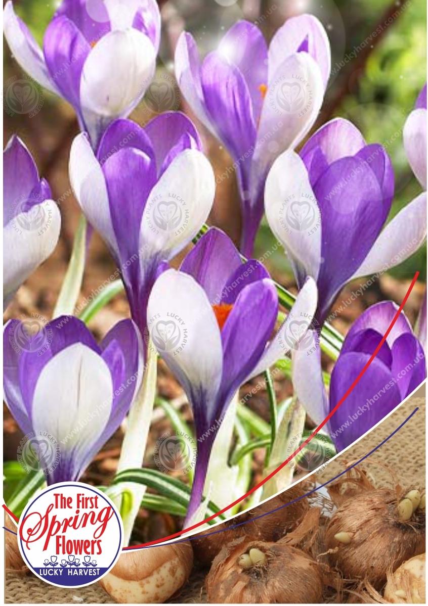 Луковицы Крокуса (Первоцвета) Крупноцветкового