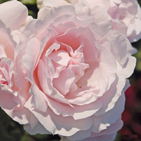 Роза Флорибунда Constanze Mozart