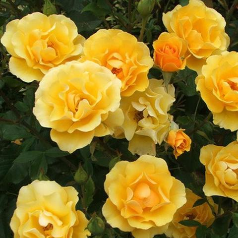 Роза Флорибунда Golden Years