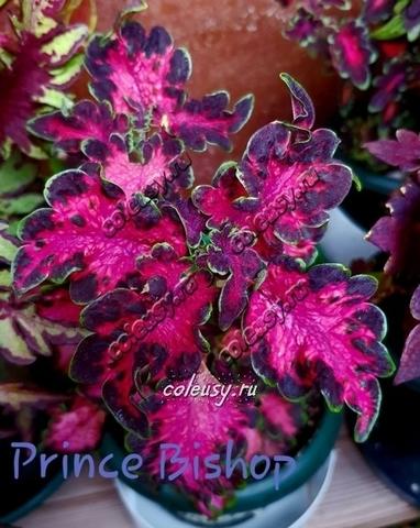 Prince Bishop колеус
