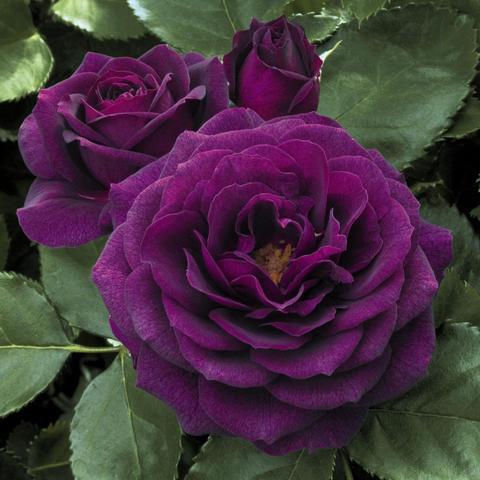 Роза Флорибунда Purple Eden