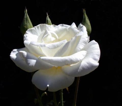 Роза чайно-гибридная Паскаль (в тубе)