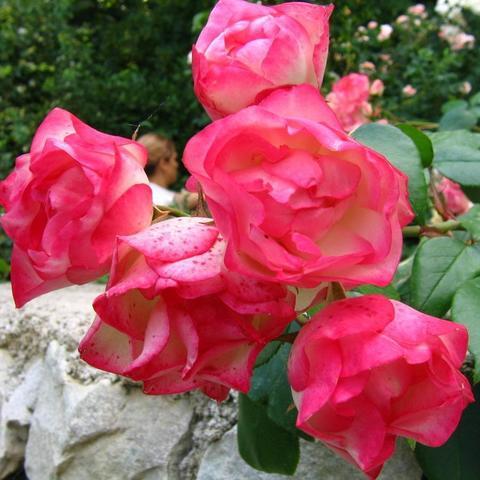 Роза флорибунда Детство