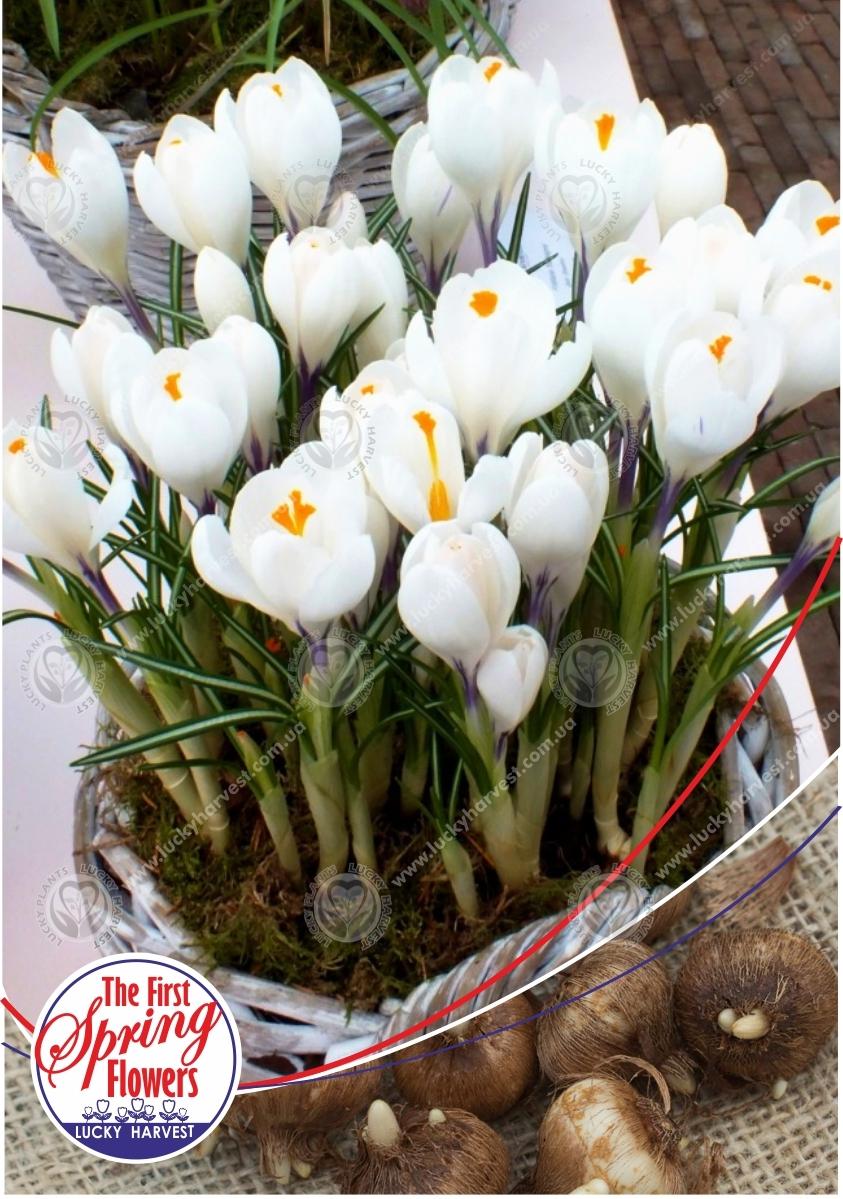 Луковицы Крокуса  Крупноцветкового