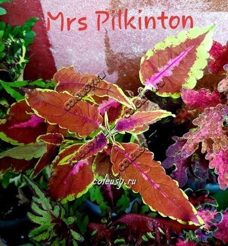 Mrs Pilkington колеус