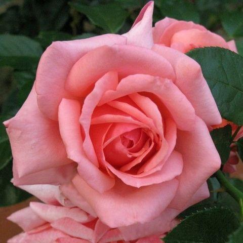 Роза Чайно-гибридная Bermuda