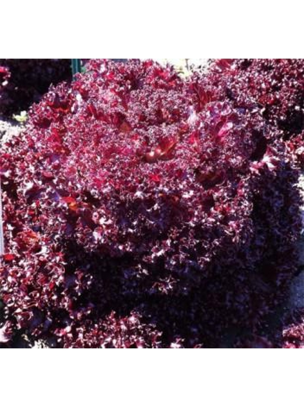Салат Наварон семена салата батавия (Vilmorin / Вильморин) Наварон_F1.jpg