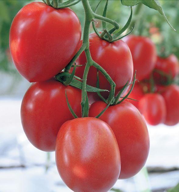 Гавриш Лезгинка F1 семена томата индетерминантного (Гавриш) Лезгинка_3_семена_овощей_оптом.JPG