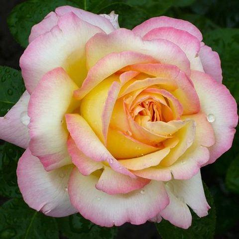 Роза чайно-гибридная Gloria Dei