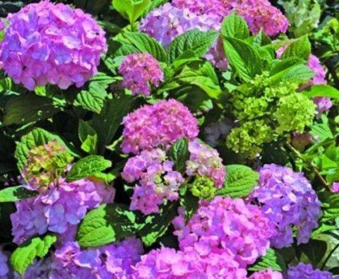 Гортензия крупнолистовая  (цветёт всё лето) Со Лонг Рози