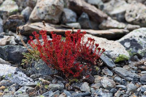 Красная щетка корень