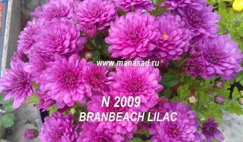 Хризантема мультифлора Branbeach Lilac N 2009