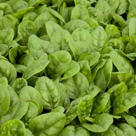 Шпинат Зебу F1 семена шпината (Rijk Zwaan / Райк Цваан) Зебу_F1_семена_овощей_оптом.jpg