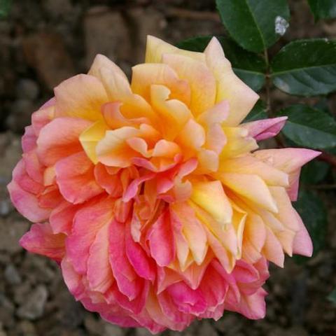 Роза чайно-гибридная Золотой юбилей