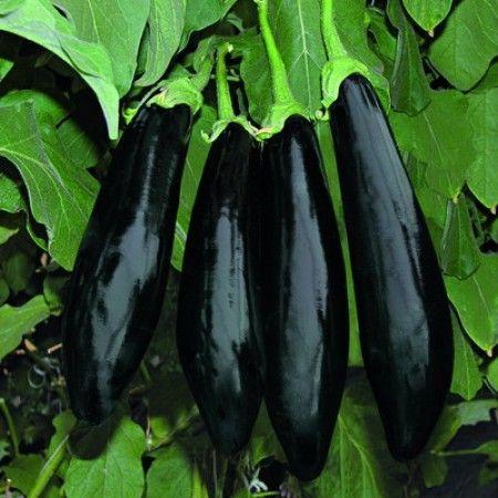 Баклажан Анамур F1 семена баклажана (Rijk Zwaan / Райк Цваан) АНАМУР_F1_семена_овощей_оптом.jpg