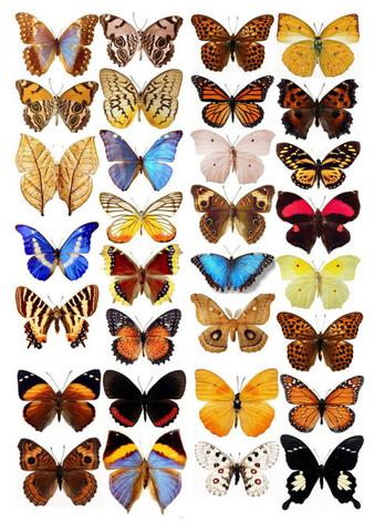 Печать на вафельной бумаге, Набор бабочек 1