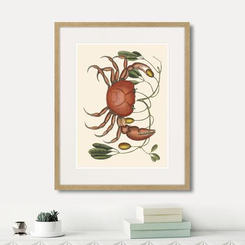 Марк Кейтсби - Land crab and tapia branch, 1742г.