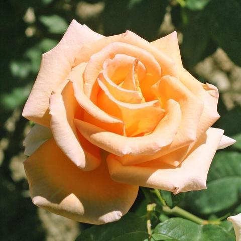 Роза чайно-гибридная Эмми