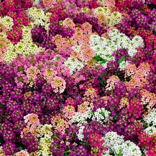 Семена цветов Семена цветов Алиссум Эстер Боннет Микс, PanAmerican Seed, 50 шт. Алиссум-Эстер-Боннет-Микс.jpg