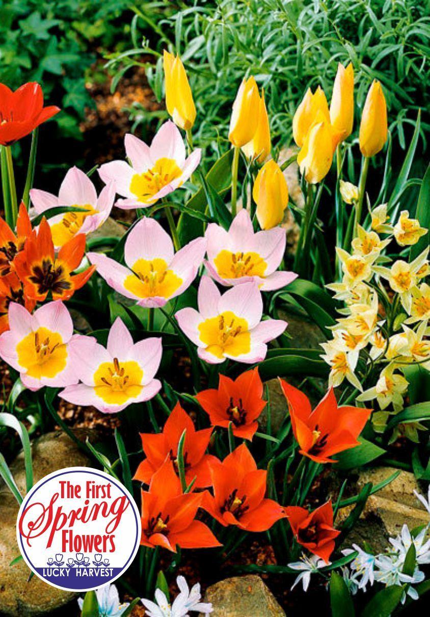 Луковицы Тюльпана Ботанического Смесь Mini Mix (Мини Микс) TM Jan de Wit en Zonen B.V. (количество в упаковке 5 луковиц)